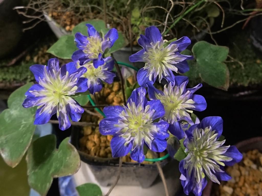 (彩×初美仙)セルフから選別(たぶん)の紫三段咲き