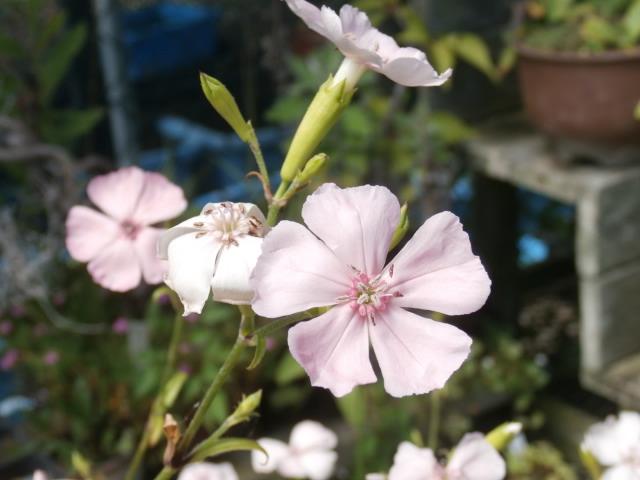 フシグロセンノウピンク花